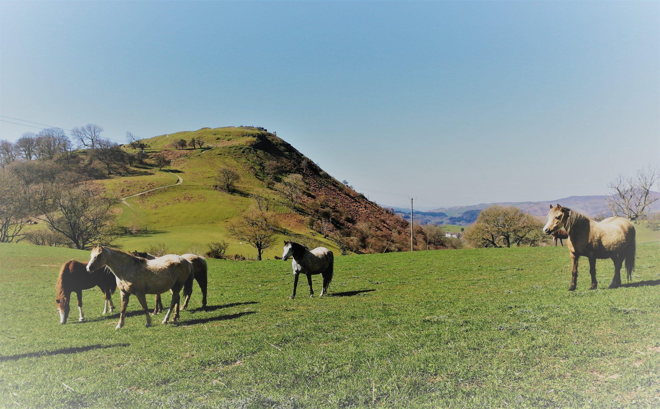 Welsh ponies enjoying the spring sun.